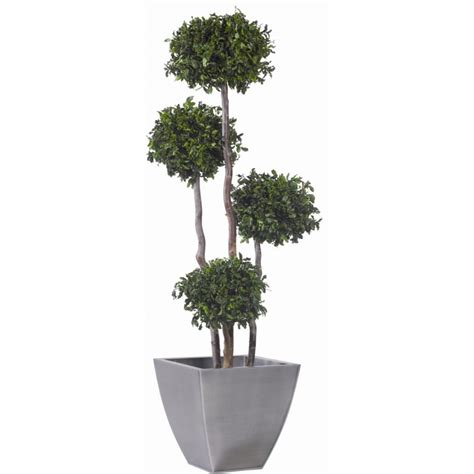 arbre 4 boules buis pittosporum stabilis 233