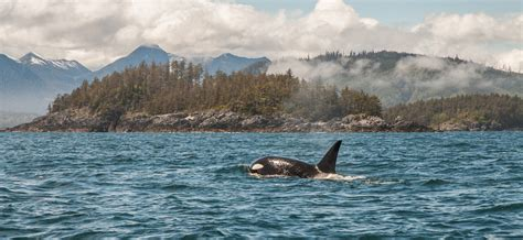 Orca, Haida Gwaii, British Columbia Canada | David Roth ...