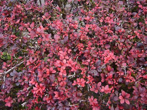 leafy shrubs red leaf shrubs related keywords red leaf shrubs long tail keywords keywordsking