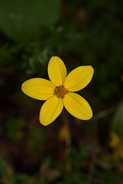 yellow cosmos flower  image peakpx