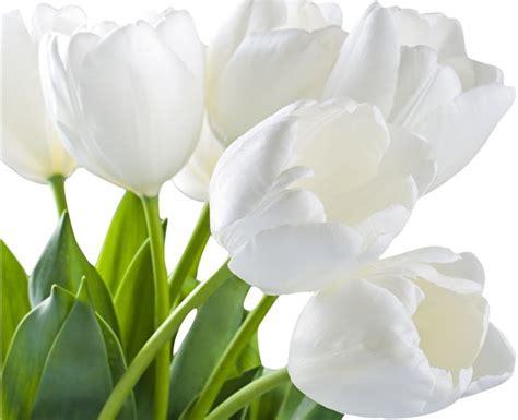 fotos von weiss tulpen blumen