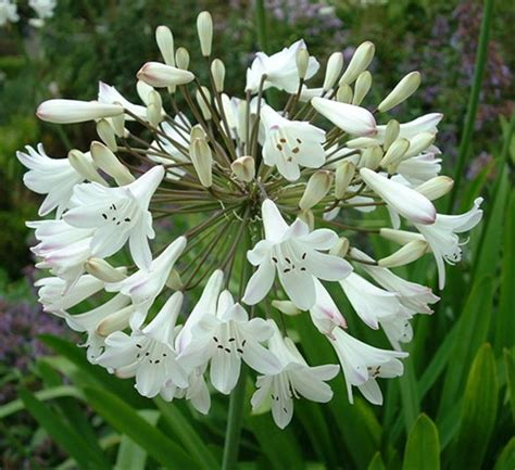 white agapanthus varieties agapanthus white agapanthus flowers and fillers flowers by category sierra flower finder