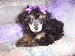 This Is Prince Our Young Toy Poodle Stud He Is Gorgeous