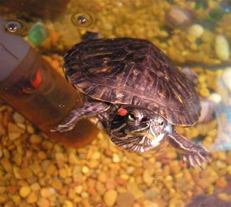 aquarium tortue de floride tortue de floride trachemys scripta en images dinosoria