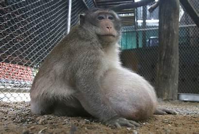 Monkey Chunky Thailand Junk
