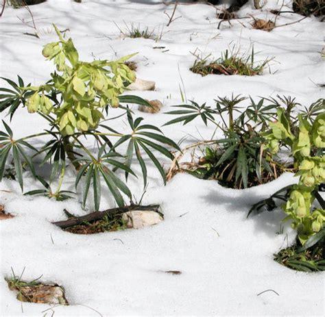 Stinkende Sachen Mit L by Biologie Nieswurz Heizt Seine Bl 252 Ten Im Winter Mit Hefe
