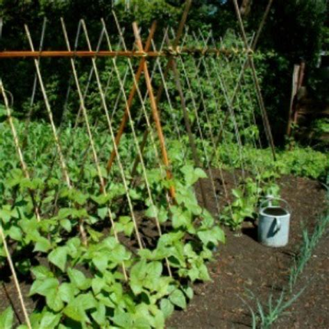 comparing bush beans  pole beans thriftyfun