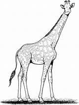 Giraffe Coloring Animals sketch template