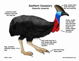 Cassowary (Southern)