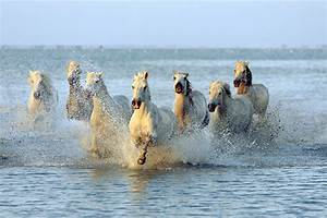 Horses Galloping In Water