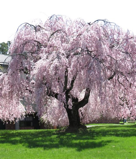 do weeping cherry trees produce cherries blossoming nearby suns along the mohawk