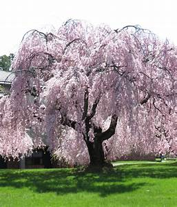 blossoming nearby | suns along the Mohawk  Weeping