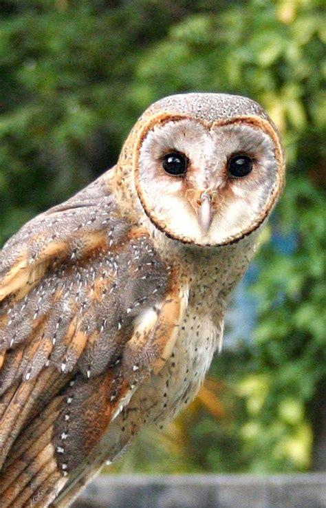 images  burung hantu  pinterest owl  dr