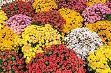 Five Cool-Season Flowers to Try in Your Fall Pots • Preen
