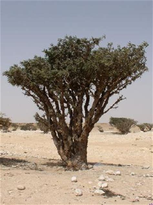 boswellia sacra tree caudiciform boswellia sacra