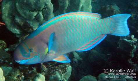 male spectacled parrotfish