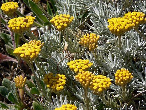 de cuisine orientale immortelle helichrysum plantation culture et espèces