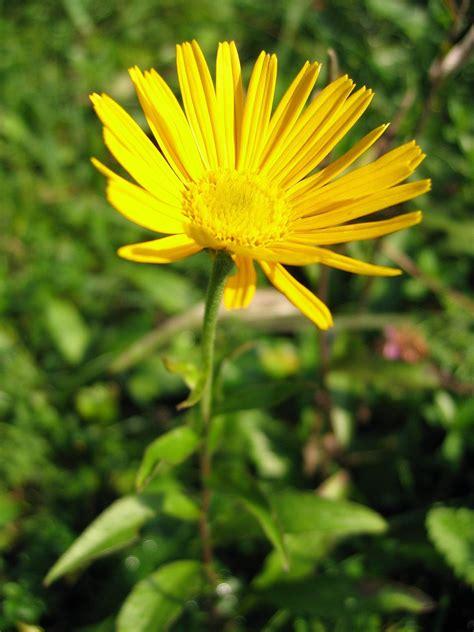 Buphthalmum salicifolium | Perennials, Plants, Having patience