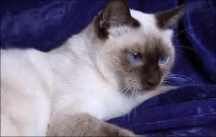 siamese cat breeders applehead breeder siamese kittens for applehead