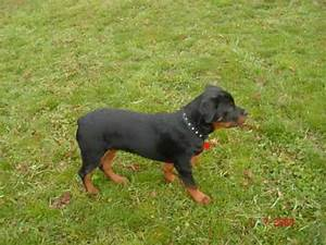 Rottweilers 5 and 6 months old - Bella and Shaq - YouTube