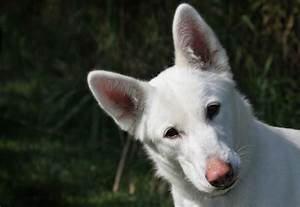 White Shepherd Husky Mix | www.imgkid.com - The Image Kid ...