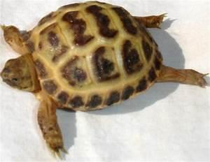 Baby Russian Tortoise Petco | www.pixshark.com - Images ...