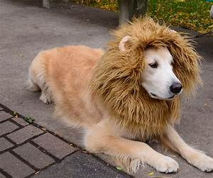 Golden Red River : lion dog costume ~ Orissabook.com Haus und Dekorationen