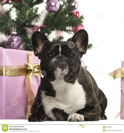 french bulldog  front  christmas decorations royalty