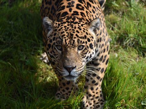 Desktop wallpaper predator, jaguar, wild animal, hd image ...