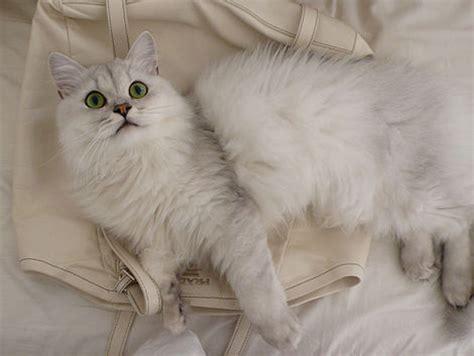 asian semi longhair cat cat breed selector