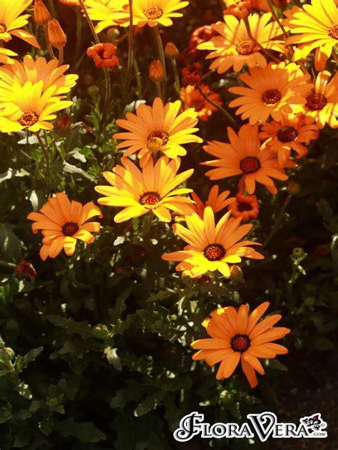 Dimorphotheca sinuata « Floravera