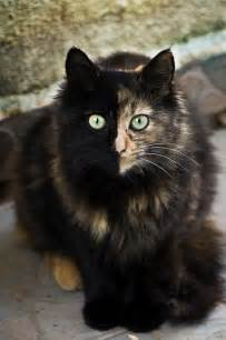 pictures of tortoiseshell cats circling in dizziness tortoiseshell cat