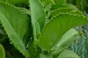 Pflanze Mit Fleischigen Blättern : brutblatt wunderblatt goethe pflanze pflege ~ Buech-reservation.com Haus und Dekorationen