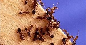 Wie Wird Man Mäuse Im Haus Los : ameisen bek mpfen die besten tipps gegen ameisen im haus ~ Lizthompson.info Haus und Dekorationen