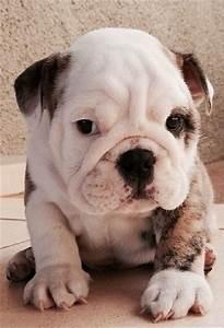 White Baby Bulldog | www.pixshark.com - Images Galleries ...