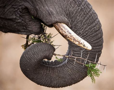 elephant trunk an elephant s trunk is critical to its survival 12 facts to change the way you see elephants
