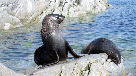 multimedia gallery  fur seals rest  rocks  dream