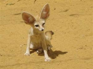 Picture 5 of 12 - Fennec Fox (Vulpes Zerda) Pictures ...
