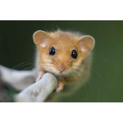 Hazel dormice numbers down by a third since 2000