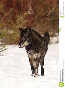 Big, Bad, Wolf, Royalty, Free, Stock, Photos