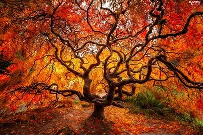 Maple Autumn Japanese Leaf Trees Fall Tree
