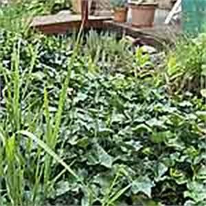 Bodendecker Blaue Blüten : bodendecker im garten pflanzen tipps ~ Frokenaadalensverden.com Haus und Dekorationen