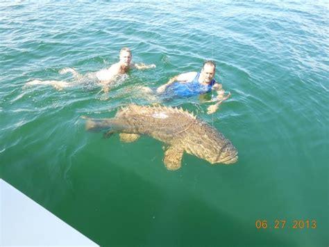 grouper fishing swimming goliath naples eco 400lb charters haven ms florida tripadvisor