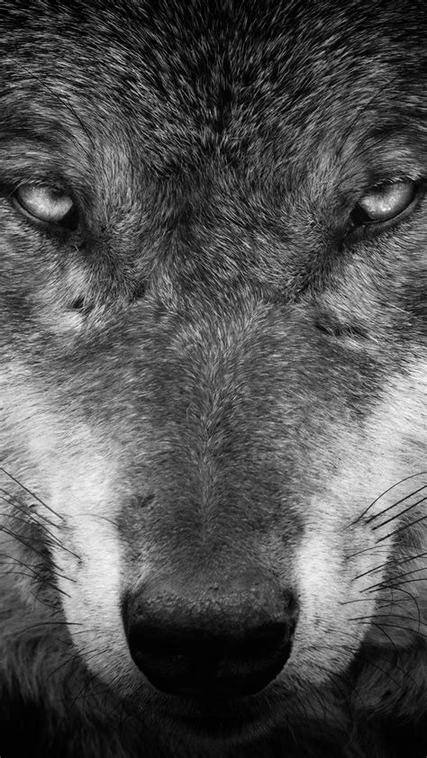 Wallpaper Black Wolf Background by Black Wolf Wallpaper 64 Images