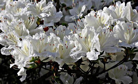 culture du rhododendron en pot rhododendron floraison entretien plantation culture