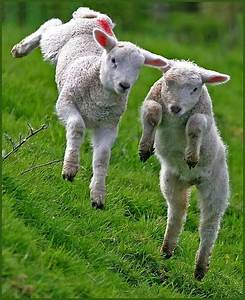 baby lambs jumping | BABY ANIMALS! | Pinterest | Happy ...