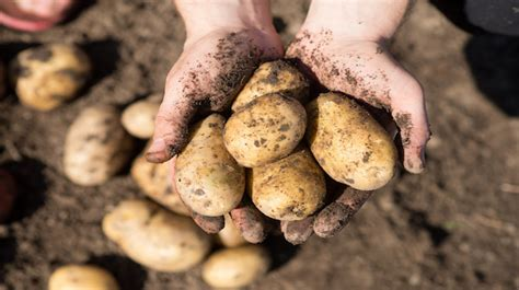 potatoes  lose weight  hearty