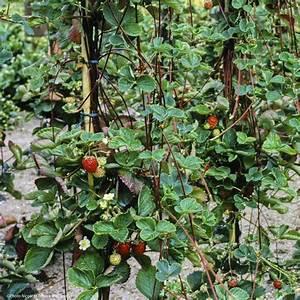 Plant De Fraisier : fraisier retombant en pot photo de fraisier gariguette ~ Premium-room.com Idées de Décoration
