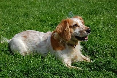 Spaniel Russian Breeds Puppies Rescue Characteristics Temperament