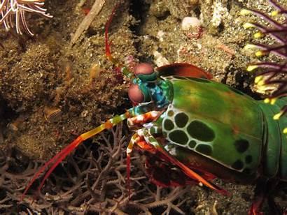 Shrimp Mantis Wallpapers Peacock Odontodactylus Scyllarus Habitat